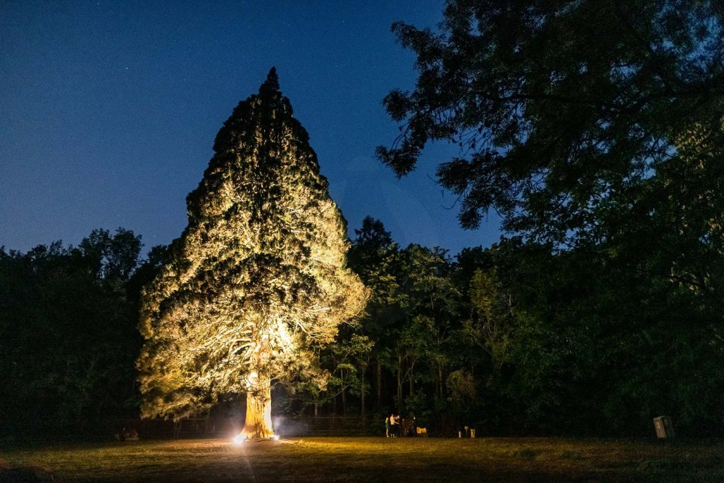 osvetlená sekvoja, LED podsvietenie stromu, Lestival